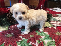 Yogi Bear Male CKC Maltipoo $1750 Ready 1/22 Yogi Bear Male CKC Maltipoo $1750 Ready 1/22 SOLD MY NEW HOME ST AUGUSTINE, FL  1.7 lbs 5W5D