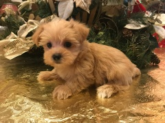 Carolina Female CKC Shorkie $1750 Ready 1/19 SOLD! 1.6 lbs 6 weeks old