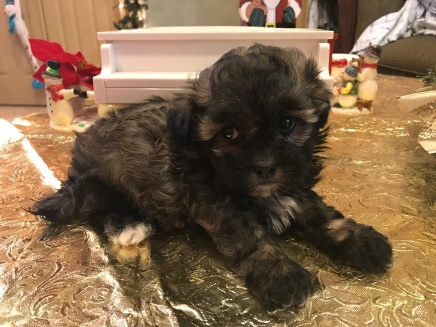 Gidget Female CKC Shihpoo $1750 Ready 1/19 SOLD MY NEW HOME JACKSONVILLE, FL 1.10 lbs 6 weeks old