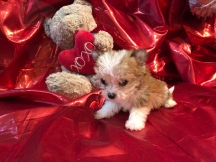 Mrs Puff Female CKC Havashire $2000 Ready 2/21 SOLD MY NEW HOME ST JOHNS, FL 12.5 oz 7W3D Old
