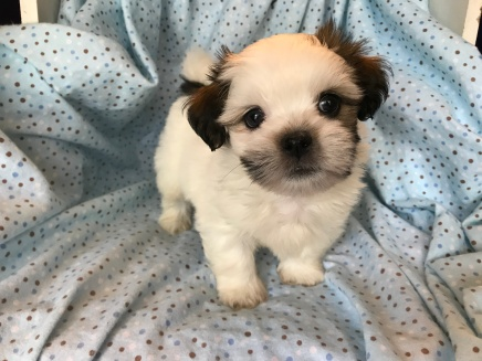Winston Male CKC Havashu $1750 Ready 2/21 SOLD MY NEW HOME ORMOND BEACH,, FL 7 oz 1 week old 2.9 lbs 7W1D Old