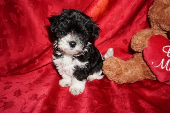Teddy Bear Male CKC Morkipoo $1750 Ready 2/17 SOLD MY NEW HOME IS JAX,FL. 1.5lb 5wks old