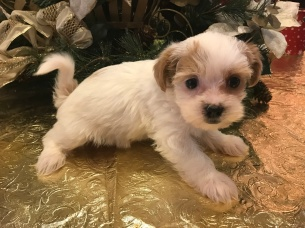 Arizona Female CKC Shorkie $1750 Ready 1/19 SOLD! MY NEW HOME JACKSONVILLE, FL 1.12 LBS 6 weeks old