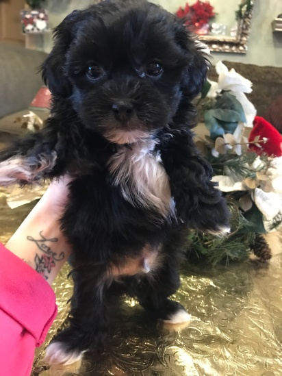 Has Deposit Binkie Adorable Male Ckc Shihpoo With So Much