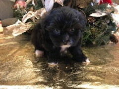 Putt Putt Male CKC Shihpoo $1750 Ready 1/19 SOLD MY NEW HOME JACKSONVILLE, FL 1.7 LBS 6 wks old