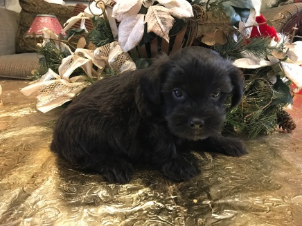 Tex Male CKC Shorkie $1750 Ready 1/19 SOLD! MY NEW HOME ST AUGUSTINE, FL 1.4 lbs 3 weeks old
