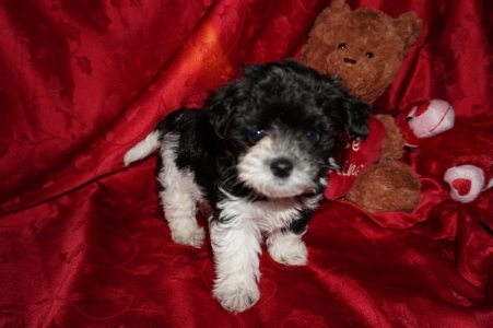 Teddy Bear Male CKC Morkipoo $1750 Ready 2/17 SOLD! MY NEW HOME IS JAX,FL. 1.5lb 5wks old