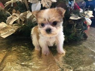 Mr Incredible Male CKC Morkie $1750 Ready 1/22 HAS DEPOSIT MY NEW HOME FT LAUDERDALE, FL 14.5 oz 5W5D