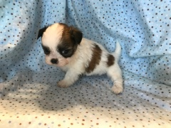 Hutch Male CKC Malshi $1750 Ready 2/2 SOLD MY NEW HOME ST AUGUSTINE, FL 1.6 LBS 6W3D Old