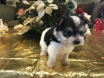 Violet Female CKC Morkie $1750 Ready 1/22 HAS DEPOSIT MY NEW HOME GAINESVILLE, FL 13oz 5W5D Old