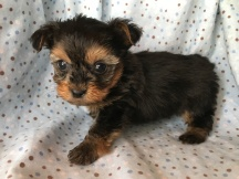 Bo Male T-cup CKC Yorkipoo $2000 Ready 2/13 SOLD MY NEW HOME JACKSONVILLE, FL 15 oz 5W3D Old