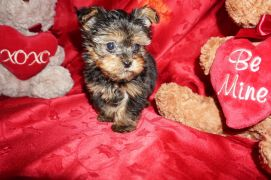 Bo Male CKC Yorkipoo $2000 Ready 2/13 SOLD MY NEW HOME RIVER VALE. NJ 1 lb 2.5oz 8w1d old