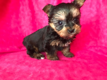 Daisy Female T-cup CKC Yorkipoo $2000 Ready 2/13 SOLD MY NEW HOME JACKSONVILLE, FL .13.4 oz 5W3D Old