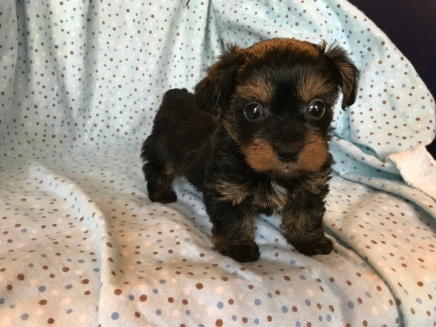 Duke Male T-cup CKC Yorkipoo $2000 Ready 2/13 SOLD 1.4 LB 5W3D Old