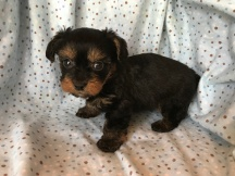Duke Male T-cup CKC Yorkipoo $2000 Ready 2/13 SOLD1.4 LB 5W3D Old