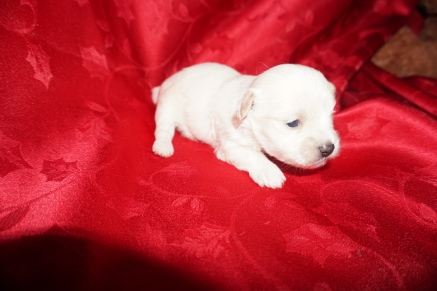 Ryan Gosling Male CKC Maltipoo $1750 Ready 3/24 AVAILABLE 12.7 oz 3W3D Old