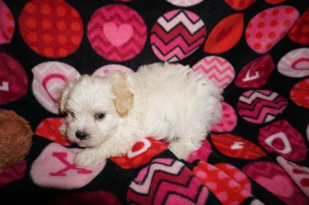 Elliot Male CKC Havanese $1750 Ready 3/2 HAS DEPOSIT MY NEW HOME SCHENECTADY, NY 2 Lbs 5W4D old