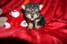 Squidward Male Havashire $1750 Ready 2/21 SOLD MY NEW HOME JACKSONVILLE, FL 1.2 LBS 7W4D Old