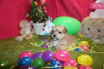 Logan Male CKC Morkie 1750 Ready 3/31 HAS DEPOSIT MY NEW HOME JACKSONVILE, FL 1.8lbs 4w2d old