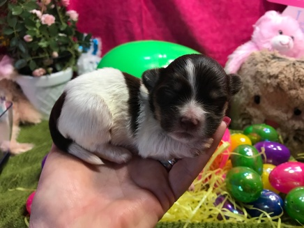 Coconut Male CKC Havanese $2000 Ready 4/23 AVAILABLE 12oz 11 days old