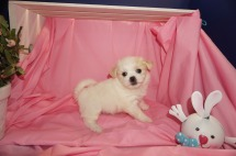 Dove Female CKC Malshi $1750 Ready 4/6 HAS DEPOSIT MY NEW HOME OVIEDO, FL 2lb 5wk6d old