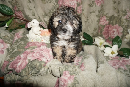 Elsa Female CKC Shihpoo $1750 Ready 2/25Sven Male CKC Shihpoo $1750 Ready SOLD MY NEW HOME JACKSONVILLE, FL 2.4lbs 7W1D old