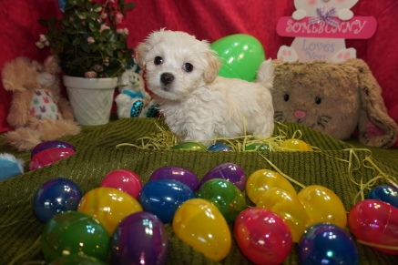 George Harrison Male CKC Maltipoo $1750 Ready 3/17 HAS DEPOSIT MY NEW HOME OVIEDA, FL 2lbs 6w3d old