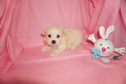 James Franco Male CKC Maltipoo $1750 Ready 3/24 HAS DEPOSIT MY NEW HOME , TALLAHASSEE, FL 1.9lbs 7wk5d old