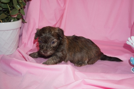 Jarah Male CKC Havashu $1750 Ready 4/13 HAS DEPOSIT! My new home is in Highlands Ranch, CO! 1.8lb 4wk4d old