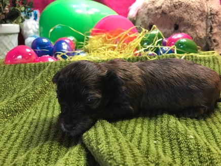 Jarah Male CKC Havashu $1750 Ready 4/13 HAS DEPOSIT! My new home is in Highlands Ranch, CO! 1.4lbs 3wks old