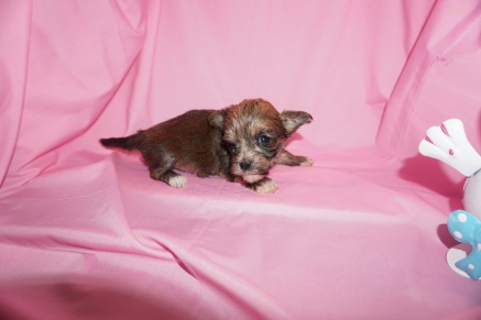 Jet Male CKC Havanese $2000 Ready 4/13 HAS HOLD 12oz 4wk4d old
