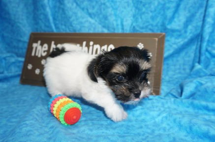 Lancalot Male CKC Havashire $1750 Ready 5/3 SOLD MY NEW HOME ST AUGUSTINE, FL 1.11 lbs 7W5D Old
