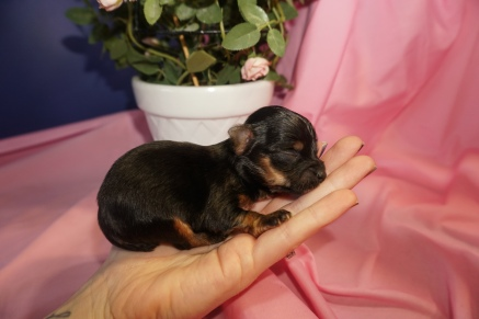 Lucy Female CKC Havashire $1750 Ready 5/3 AVAILABLE 6 oz 12 Days Old