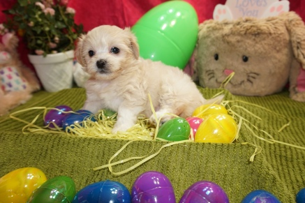 Madelina Female CKC Shihpoo $1750 READY 3/17 SOLD MY NEW HOME SC 2.4lbs 6w1d old