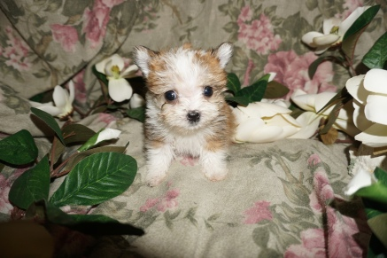 Mrs Puff Female CKC Havashire $2000 Ready 2/21 SOLD MY NEW HOME ST JOHNS, FL 15oz 8wks old
