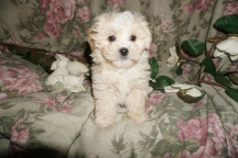 Olaf Male CKC Shihpoo $1750 SOLD MY NEW HOME FERNANDINA BEACH, FL 2.5lbs 7W1D old