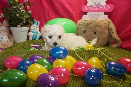 Paul McCartney Male CKC Maltipoo $1750 Ready 3/17 HAS DEPOSIT MY NEW HOME YULEE,, FL 1.14lbs 6w3d old