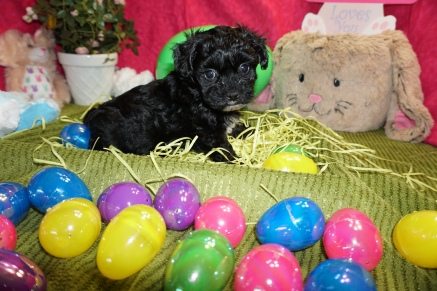 Prince Male CKC Shihpoo $1750 Ready 3/17 SOLD MY NEW HOME JACKSONVILLE, BEACH, FL 1 LB 2.9lbs 6w1d old