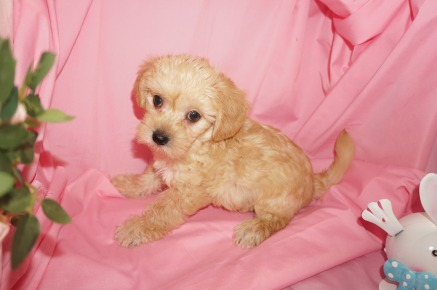 Randall Male CKC Morkipoo $1750 SOLD MY NEW HOME ATLANTA, GA 3/28 2.13lb 7wk1d old