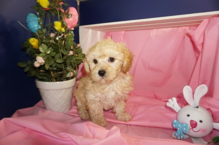 Sullivan Male CKC Morkipoo $1750 SOLD MY NEW HOME GAINSEVILLE, FL 3/28 3.5lb 7wk1d old