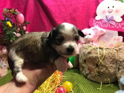 Tiger Eye Male CKC Havanese Ready 4/13 AVAILABLE 1.6 lb 2w5d old