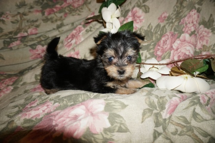 Tiger Male CKC Havashire $1750 Ready 3/3 SOLD MY NEW HOME ORANGE PARK, FL 1.10lbs 6wks3d old