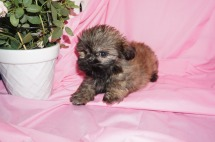 Alix Male CKC Malshi $1750 Ready 3/18 SOLD MY NEW HOME JACKSONVILLE, FL 1.11lb 8wk4d old