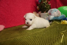 Casper Male CKC Malshi $1750 Ready 4/6 HAS DEPOSIT MY NEW HOME JACKSONVILLE, FL 1.10lbs 3w4d old