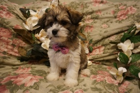 Cupid Male CKC Morkipoo $1750 Ready 2/17 SOLD MY NEW HOME LAKE MARY, FL 3.10lbs 8wks5days old