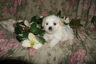 Evan Male CKC Havanese $1750 Ready 3/2 SOLD MY NEW HOME PALM BEACH GARDEN, FL 1.1lbs 6W2D old