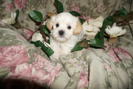 Evangelina Female CKC Havanese $1750 Ready 3/2 SOLD MY NEW HOME ST JOHNS, FL 1.14lbs 6w2d old