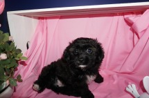 Gabriella Female CKC Shihpoo $1750 READY 3/17 SOLD MY NEW HOME TALLASSEE, FL 3.9lb 8wk4d old