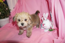 Liam Male CKC Morkie 1750 Ready 3/31 HAS DEPOSIT MY NEW HOME NY CITY, NY 1.10lb 6wk3d old
