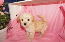 Mike Wazowski Male CKC Morkipoo $1750 SOLD MY NEW HOME TEXAS 3/28 2.2lb 7wk1d old